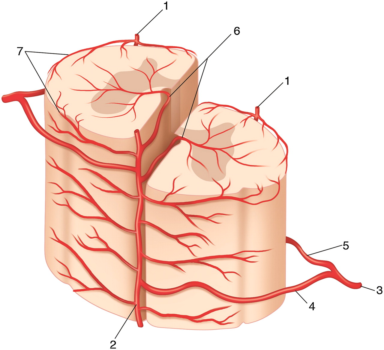 Vascular Anatomy Of The Spinal Cord Journal Of Neurointerventional